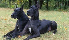 BlackGreatDane