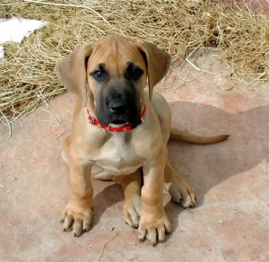 great-dane-puppy