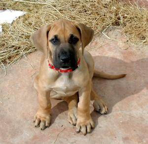 great-dane-puppy