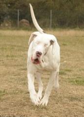 White Dane