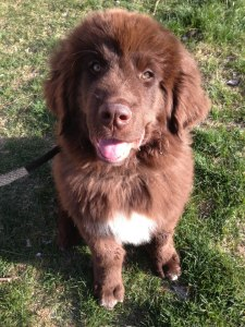 dog-training-utah-county-newfoundland-difficult-dog