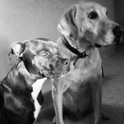 Project K9 heather Hamilton Blog Utah Dog Training Pitbulls Labrador Retrievers