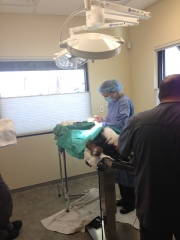 C-Section on Luna, Wasatch Canine Camp, WCC Berners