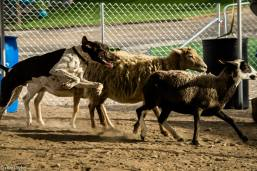Cesar Millan Project K9 Sheep Herding