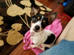 project-k9-jane-rat-terrier