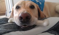 Project_k9_heather_hamilton_napoleon_yellow_lab